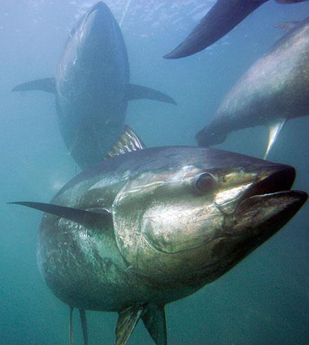 MÁS ALLÁ DE LOS CIEN METROS Deep Jigging en el Mediterráneo por Luis García Bluefin-tuna_chris-park