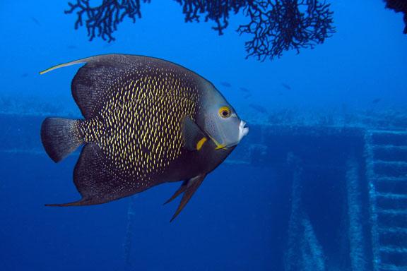 french angelfish mates